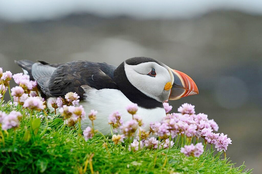 Scotland photo tour Tom Bol puffin_preview